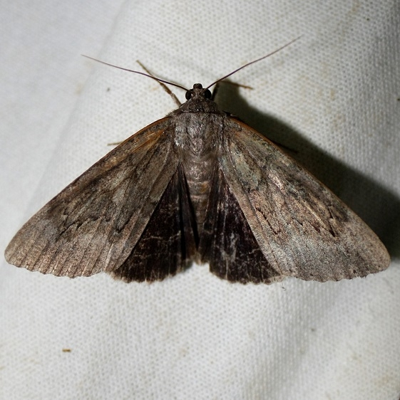 8785 Residua Underwing at Chatteau Adams Co Oh 9-11-09