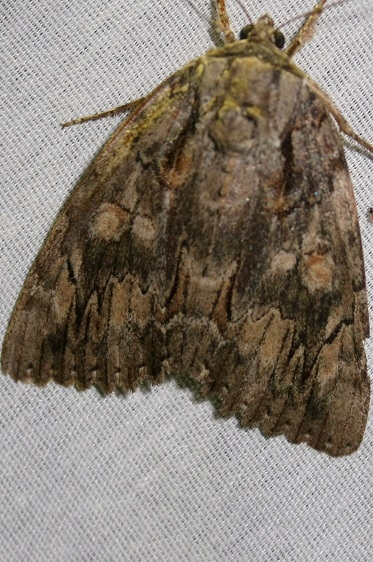 8787 Agrippina Underwing At Chatteau Adams Co Oh 9-11-09