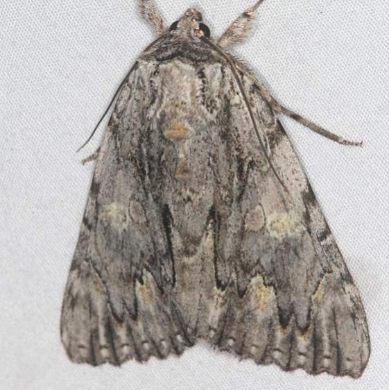 8798 Bride Underwing Moth Mothapalooza Shawnee St Forest Oh 7-7-17 (149)_opt