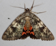 8801.1 Umber Underwing Moth Thunder Lake UP Mich 10-2-14