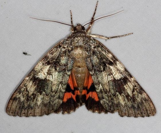 8801.1 Umber Underwing Moth Thunder Lake UP Mich 10-2-14