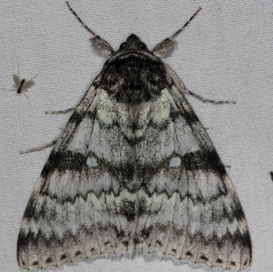 8803-White-Underwing-Moth-Thunder-Lake-UP-Mich-9-28-14