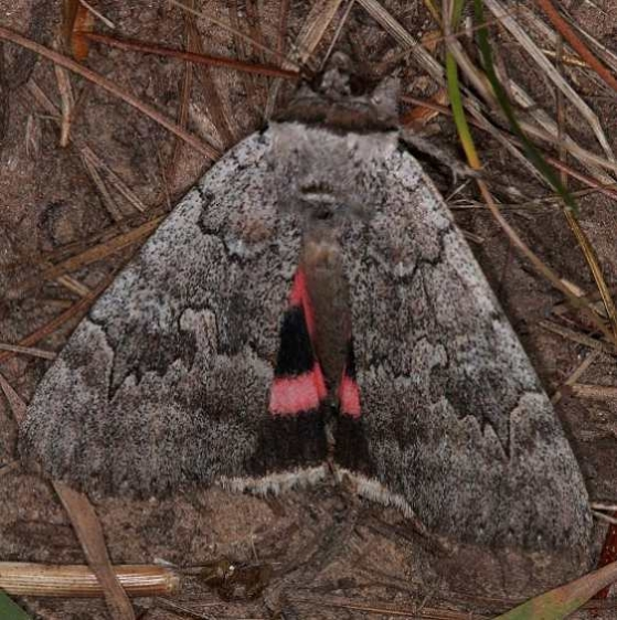 8833 Pink Underwing Moth Thunder Lake UP Mich 9-27-14