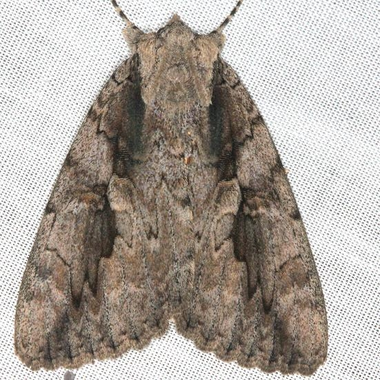 8834 Sweetheart Underwing Moth yard 8-12-13