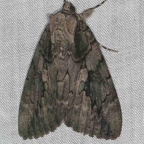 8834 Sweetheart Underwing Moth yard 8-18-16 (7)_opt