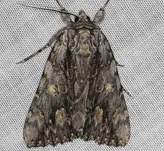8851 Scarlet Underwing Moth Lake of the Woods Ontario 7-26-16