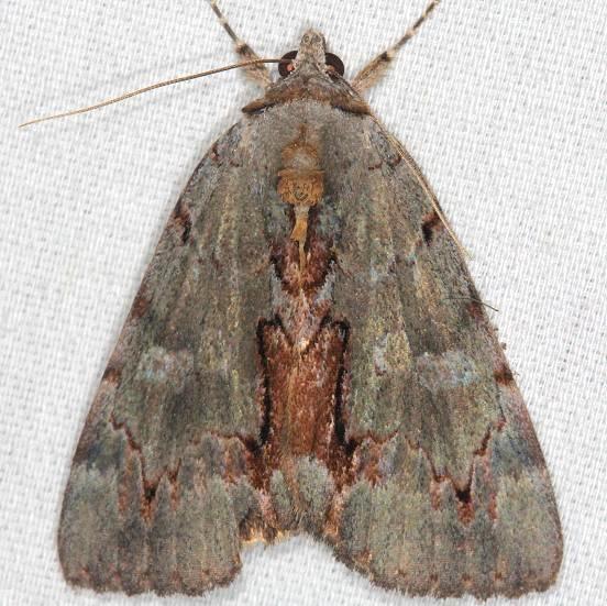 8864 Woody Underwing Moth Catocola grynea yard 7-14-13