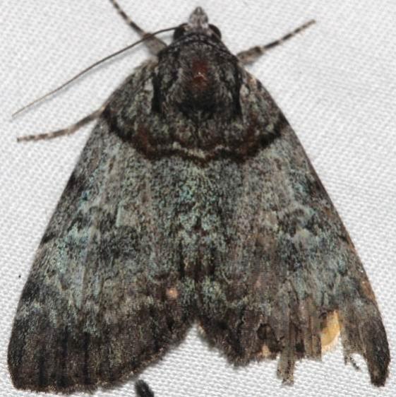 8871 Sweet Underwing Moth Catocala dulciola yard BG 7-5-16