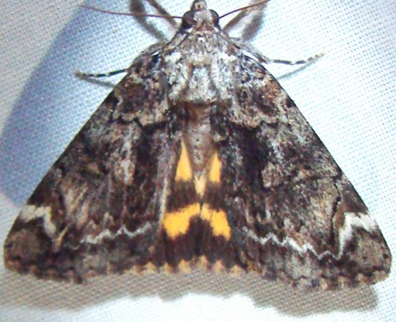 8874 Little Underwing Moth yard 6-10-10