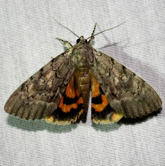 8778 Habalis Underwing at Chatteau Adams Co Oh 9-13-09