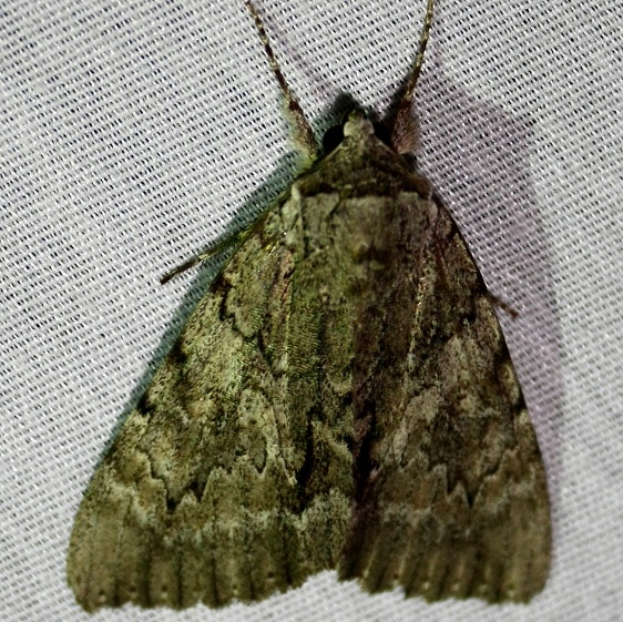 8779 Serene Underwing at Chatteau Adams Co Oh 9-13-09