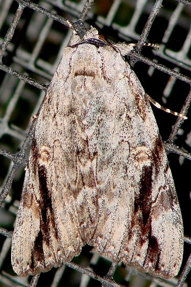 8793 Sad Underwing Moth yard 8-15-08