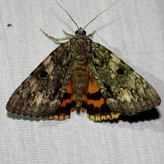 8795 Oldwife Underwing at Chatteau Adams Co Oh 9-11-09