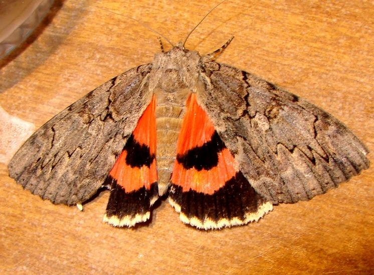 8796 Clouded Underwing yard 8-6-10