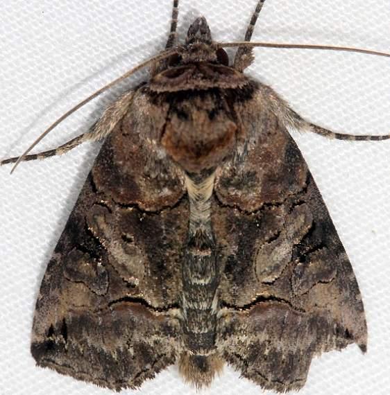 8881 Specticled Nettle Moth Huffman Prairie WPAFB Dayton Oh 7-27-14