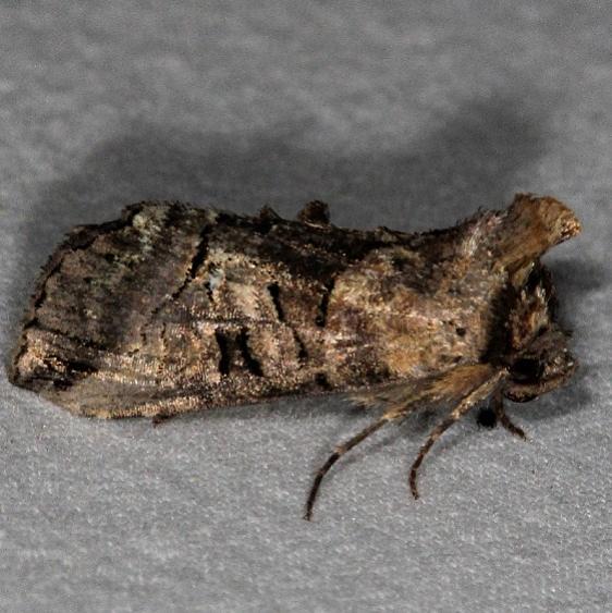 8881 Specticled Nettle Moth yard 5-9-15