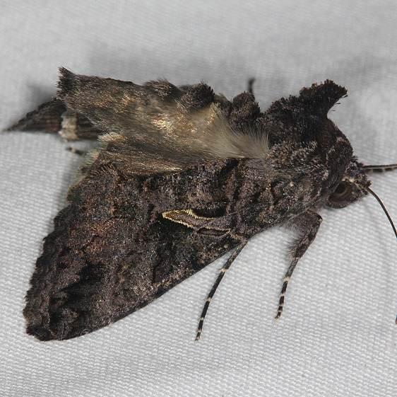 8889 Sharp-stigma Looper Moth yard 10-27-14