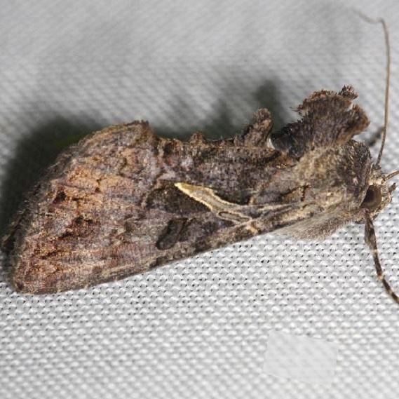8889 Sharp-stigma Looper Moth yard 7-31-12