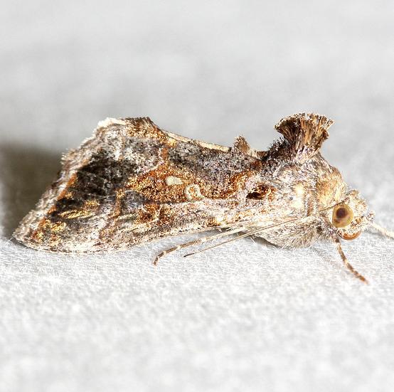 8890 Soybean Looper Moth yard 10-25-12