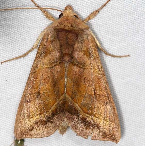 8896 Dark-spotted Looper Moth Lake of the Woods Ash Rapids Lodge 7-16-17 (76)_opt