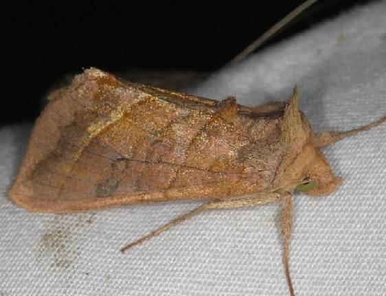 8896 Dark-spotted looper Moth Lake of the Woods Ontario 7-26-16