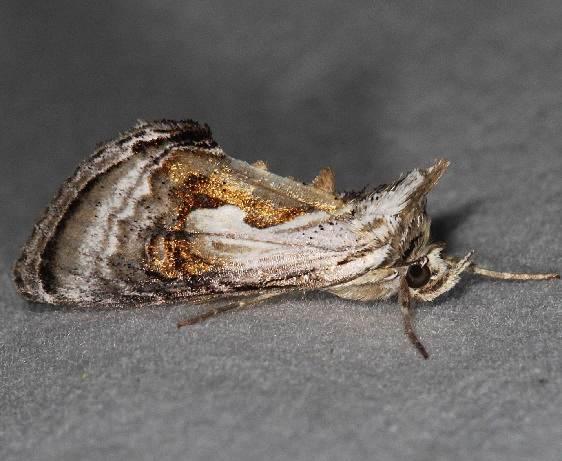 8904 Formosa Looper Moth Lake of the Woods Ontario 7-18-16