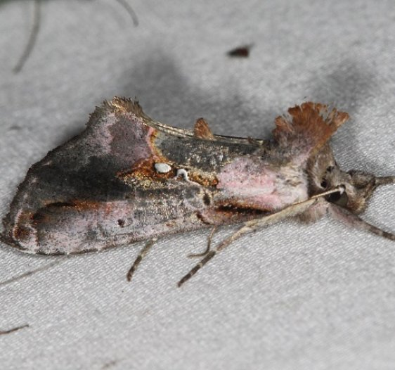 8905 Pink-patched Looper Moth Lake of the Woods Ontario 7-25-16