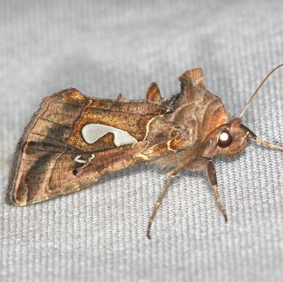 8907 Bilobed Looper Moth yard 5-17-13