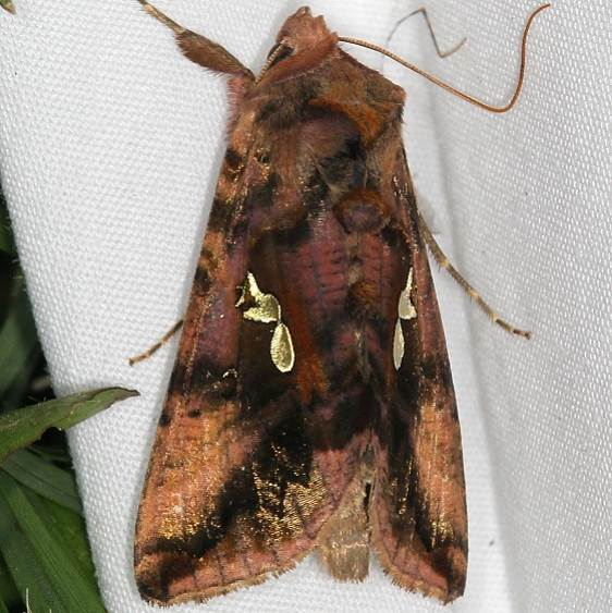 8911 Two-spotted Looper Moth Ash Rapids Lodge Lake of the Woods Ont 7-24-17 (5)_opt