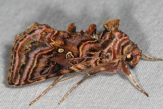 8912 Wavy Chestnut Y Moth Thunder Lake UP Mich 6-20-16