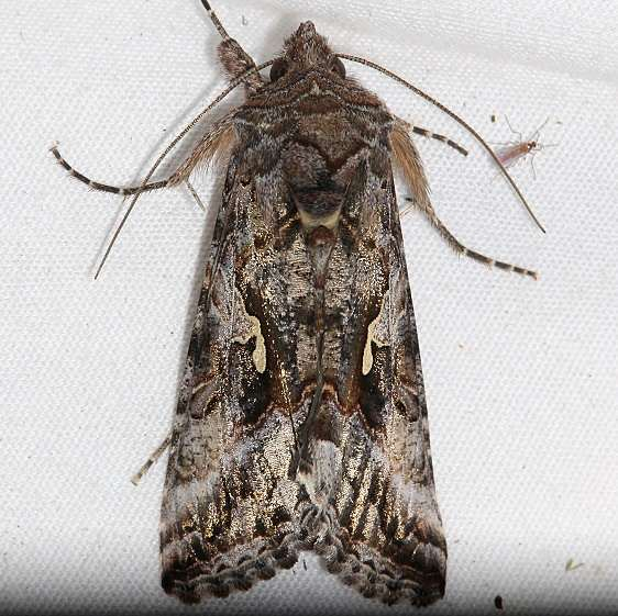 8914 Alfalfa Looper Moth Mueller St Pk Colorado 6-20-17 (10)_opt