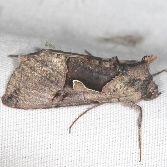 8923 Large Looper Moth Ash Rapids Lodge Lake of the woods Ont 7-26-17 (5)_opt