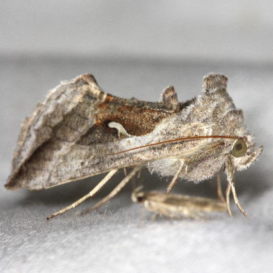 8924 Celery Looper Moth yard 5-29-13