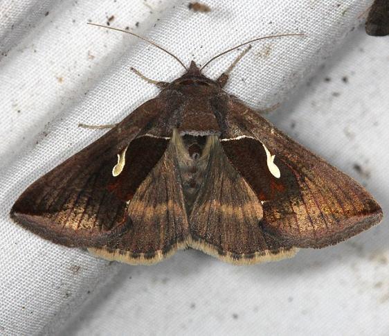 8924 Celery Looper Moth yard 9-1-14