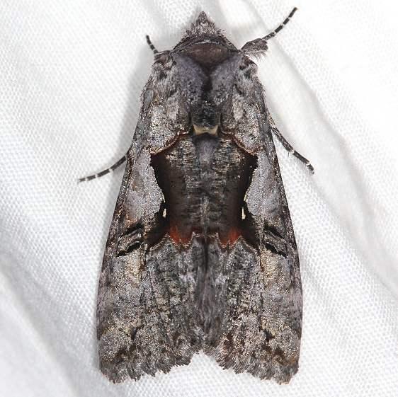8927 Epigaea Looper Moth Ash Rapids Lodge Lake of the Woods Ont 7-17-17 (5)_opt
