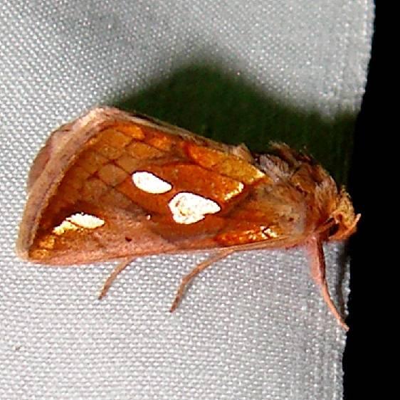 8950 Putman's Looper Moth Thunder Lake UP Mich 6-21-11