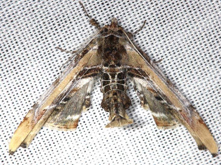 8956 Light Marathyssa Moth Carter Cave St Pk Ky 4-25-13