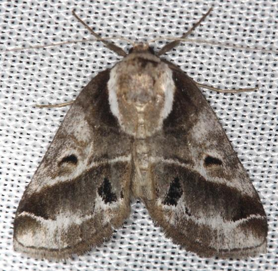 8969 Doubleday's Baileya Moth Thunder Lake UP Mich 6-23-13