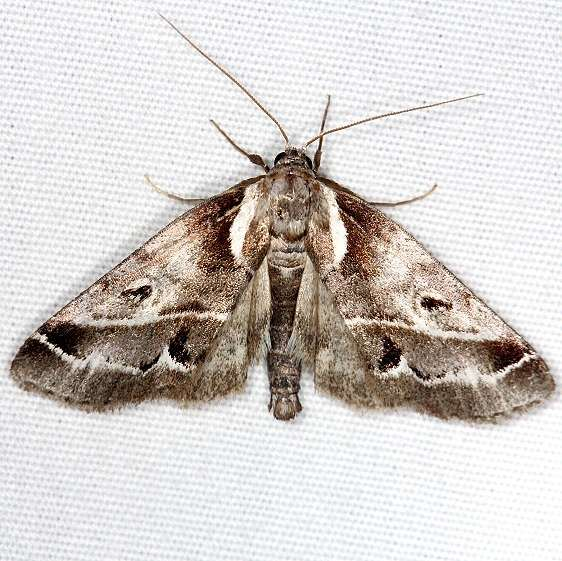 8969 Doubledday's Baileya Moth Thunder Lake UP Mich 6-21-14