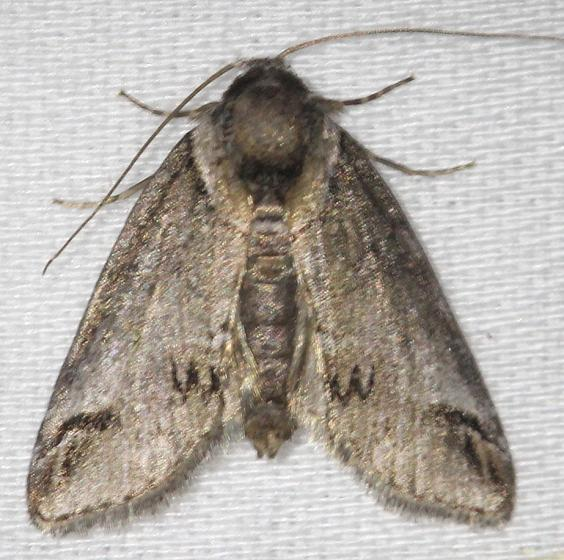 8973 Small Baileya Moth yard 5-28-13