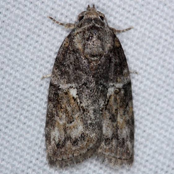 8974 Black-olive Caterpillar Moth yard 8-30-14