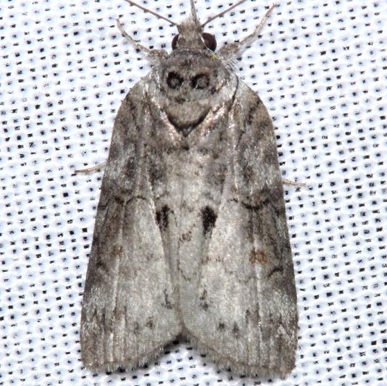 8978 Forgotten Frigid Owlet Moth yard 5-2-12