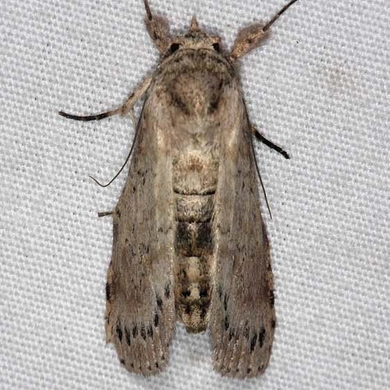 8981 Motya abseuzalis Collier-Seminole St Pk Fl 3-7-15