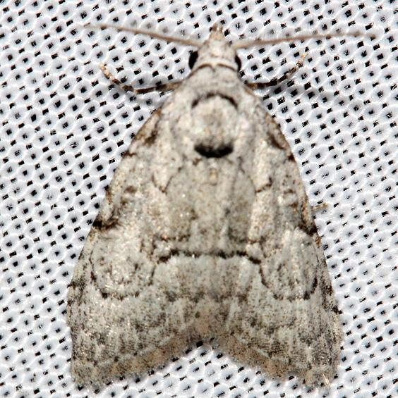 8983.2 Ashy Meganola Moth Grasshopper Lake Ocala Natl Forest 3-21-13