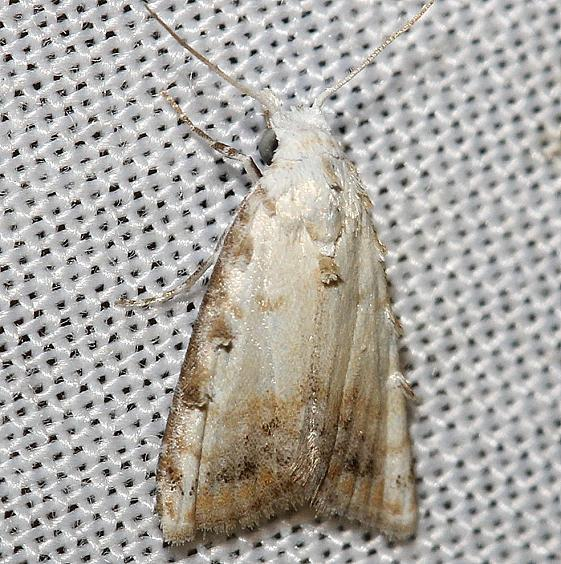 8991 Sorghum Webworm Moth yard 6-15-12