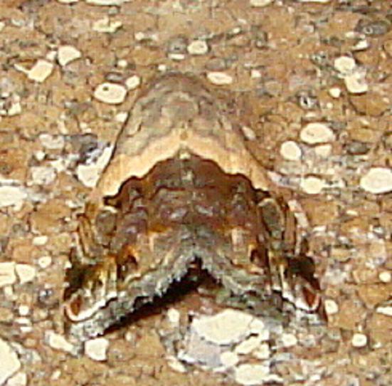 9011 Tripudia limbatus Moth Ventana Canyon Resort Tucson Az 9-10-12