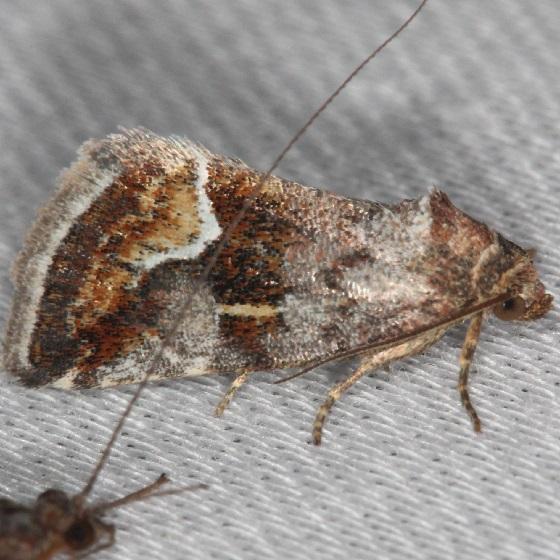 9046 Bog Deltote Moth Thunder Lake Mich UP 6-24-13