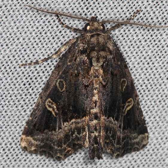 9056 Waterlily Owlet Moth Homophoberia cristata Rodman campground Fl 3-18-14