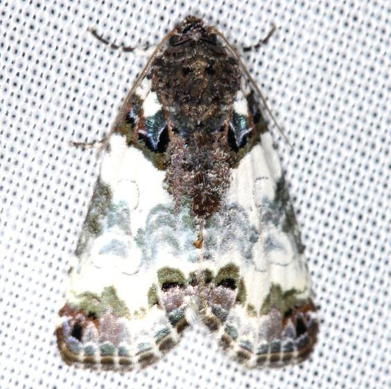 9062 Tufted Bird-dropping Moth yard 5-29-13
