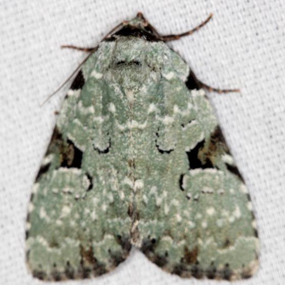 9065 Green Leuconycta Moth yard 5-27-13